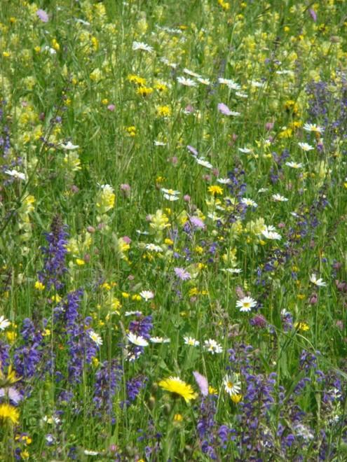 Blumenwiesen/Foto: Schwäbischer Albverein